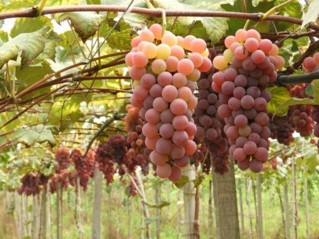 Vindima em Protásio Alves: o doce sabor da colheita